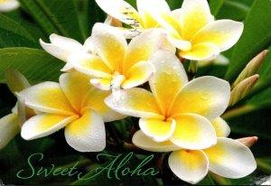 Hawaii Honolulu Sweet Aloha Yellow Plumeria 2015