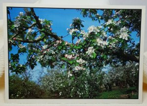 Apple Blossoms Vintage Postcard