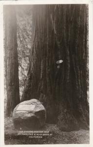 MT. TAMALPAIS & MUIR WOODS RY, California, 00-10s; The Gifford Pinchot Tree