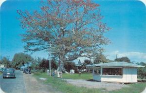 Clearwater Florida~Kapok Tree Citrus Grove~Fruit Stand 1950s Postcard
