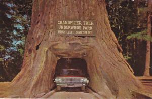 REDWOOD, California, 1940-1960's; Chandelier Drive-Thru Tree