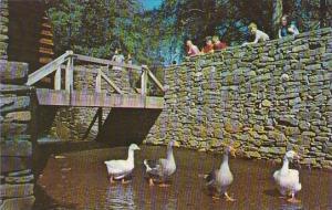Massachusetts Sturbridge Village Geese Promenading At The Gristmill