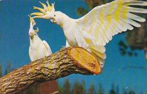 Florida Miami Sulphur Crested Cockatoos At Parrot Jungle