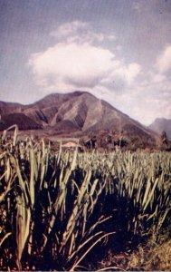 Hawaii Sugar Cane Fields