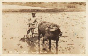 RP: Water Buffalo , Hawaii , 20-30s