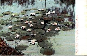 Maine Auburn Taylor Pond The Pond Lilies