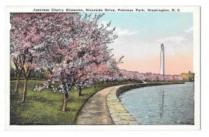 Washington DC Cherry Blossooms Potomac Park Postcard