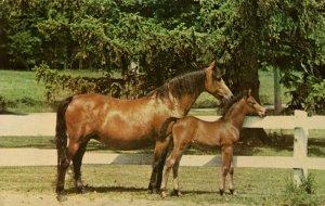VT - Weybridge, UVM. Morgan Mare UVM Flirt & Foal