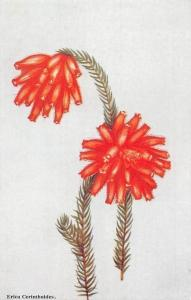 South Africa Flora Erica Cerinthoides, fire erica, fire heath, red hairy heath