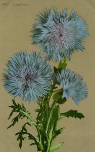 Flowers -   Cornflower                            (Edward H. Mitchell #3095)