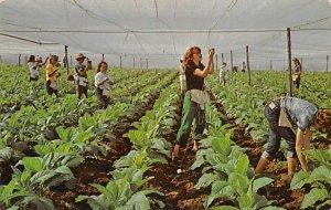 Shade grown tobacco girls are twisting string around stocks Tobacco Unused