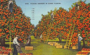 Picking oranges in sunny Florida Florida, USA Florida Oranges 1949