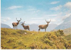 Post Card Scotland Red Deer in the Scottish Highlands