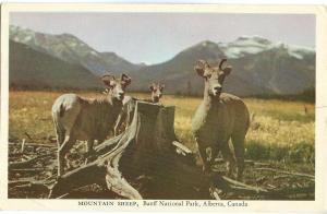 Mountain Sheep, Banff National Park, Alberta, Canada, unused Postcard