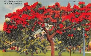 USA Royal Poinciana Tree in Bloom in Florida