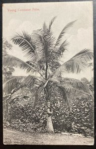 Mint Ceylon Real Picture Postcard RPPC Young Cocoanut Palm