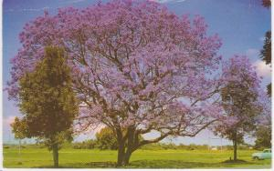 FLOWERING JACARANDA TREE AUSTRALIA