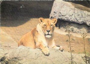 Postcard Animals oroszlan lion tiger nature natural rocks mountains