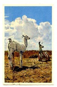 Peru - Llamas