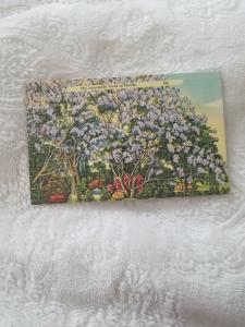 THE JACARANDA TREES OF FLORIDA.  #165. POSTED 1946. VGC