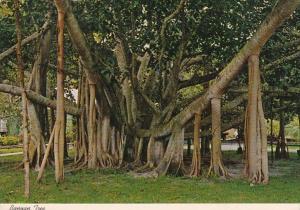 Hawaii Maui Lahaina Oldest Banyan Tree On The Islands