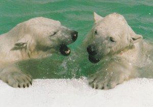 CALGARY , Alberta , Canada , 1950-70s ; Polar Bears at zoo