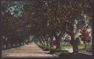 A Pepper Tree Driveway,Southern,CA Postcard