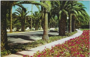 Vintage Postcard, an Avenue of Palms in California