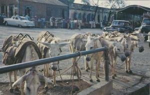 Donkeys, Market-Place Scene in ST. THOMAS, Virgin Islands, 40-60s