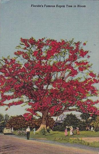 Floridas Famous Kapok Tree In Bloom Curteiclh / HipPostcard