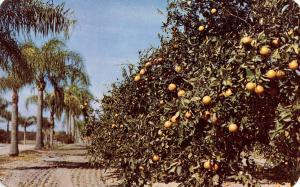 FL - Orange Grove