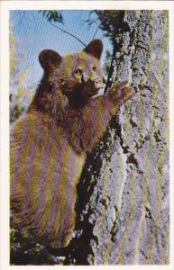 Bear Cub In Tree Canada