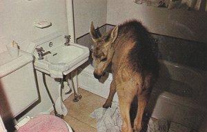 KAMLOOPS , B.C., 40-60s ; Moose in bathroom , Wildlife Park