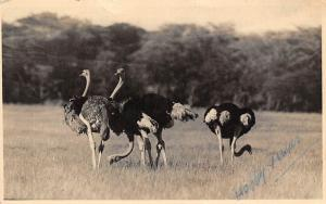 Kenya Nairobi National Park, Ostrich Birds 1949