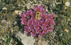 Canada Northwest Territories Cape Bathurst Purple Saxifrage With Bumblebee