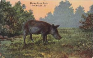 Florida Razor Back, Root Hog or Die, 00-10s