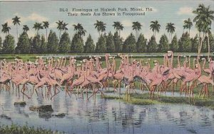 Florida Miami Flamingos At Hialeah Park Their Nests Are Shown in Foreground