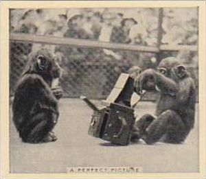 Phillips Cigarette Card Our Favorites No 9 Monkeys Taking Pictures