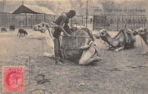 Yemen Aden - The Shiss of the desert, Camels 1911