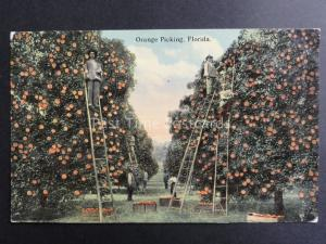 USA: Florida, Orange Picking - Old Postcard Pub by Cochrane Co