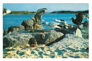 Maine Coast Sea Gulls Photo W P Moore Winged Beach Combers Vintage Postcard