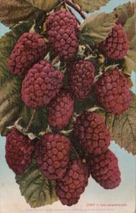 Fruit Loganberries 1911 Edward H Mitchell