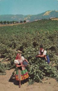 Italian Swiss Colony Vineyard Scene At Asti Sonoma County California