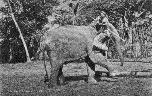 Sri Lanka Ceylon Elephant at Work Postcard