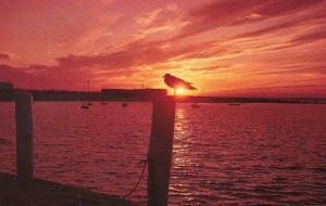 Birds Seagull In The Setting Sun Along The New England Coastline