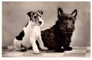 Dog ,  Scotch Terriers