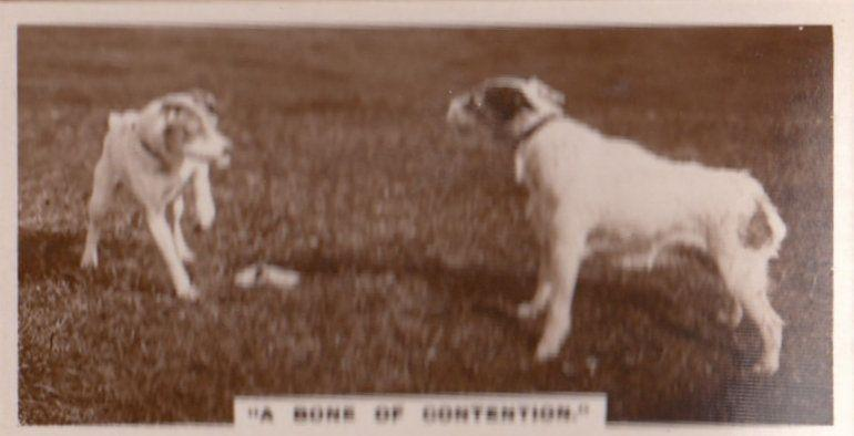 A Bone Of Contention Dog Battle Dogs Real Photo Cigarette Card