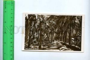 204387 IRAQ Date Grove at Basrah old photo postcard