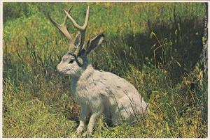 Humour Famous Jackalope Of North America