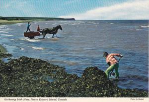 Gathering Irish Moss , P.E.I. , Canada , 50-70s